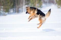 German shepherd dog jumping in snow outdoor Stock Images