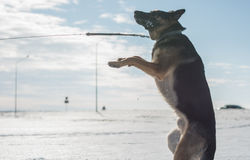 German shepherd dog jumping in snow outdoor. Winter background. Royalty Free Stock Photography