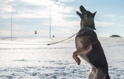 German shepherd dog jumping in snow outdoor. Winter background. Stock Photos