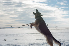 German shepherd dog jumping in snow outdoor. Winter background. Royalty Free Stock Images
