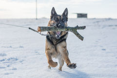 German shepherd dog jumping in snow outdoor. Winter background. Stock Photography
