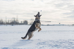 German shepherd dog jumping in snow outdoor. Winter background. Royalty Free Stock Photo