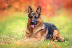 German shepherd dog lay. Beautiful german shepherd dog lay in autumn forest royalty free stock photos