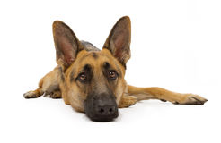 German Shepherd Dog Laying Down Stock Photos