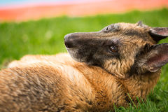 German Shepherd Dog laying down in grass looking back at camera Stock Image