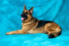 German Shepherd Dog Laying Down Looking Alert. A young german shepherd dog in studio against blue backdrop laying down facing left Royalty Free Stock Photo