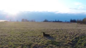 German shepherd dog laying on the grass. Aerial footage. stock video