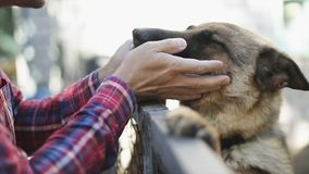 German shepherd dog licks owner`s hand.