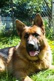 German shepherd dog lies in the garden of rest.  stock photo