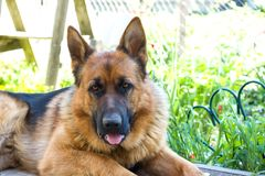German shepherd dog lies in the garden of rest.  royalty free stock photos