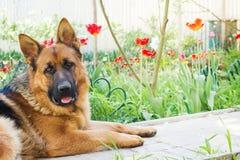 German shepherd dog lies in the garden of rest.  stock images