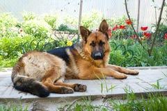German shepherd dog lies in the garden of rest.  royalty free stock photo