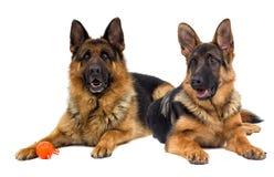 German shepherd dog lies royalty free stock photography