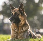 German Shepherd Dog Looking Alert for a Portrait stock photography