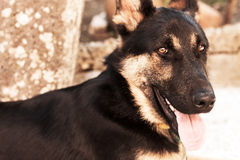 German shepherd dog looking at the camera with his tongue out royalty free stock photos