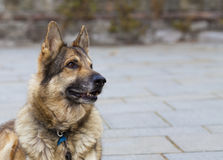 German Shepherd Dog looking out of frame. German Shepherd Dog looking intently out of the frame at his owner.  Taken against a grey stone background. The dog is Stock Images