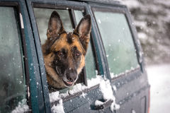 German Shepherd Dog looking out the side window of a SUV Royalty Free Stock Image