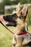 German Shepherd Dog 1 stock images