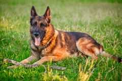 German Shepherd dog lying in the autumn forest Stock Image