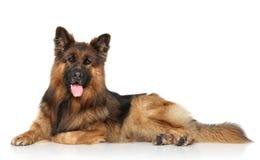 German shepherd dog lying down Stock Photography