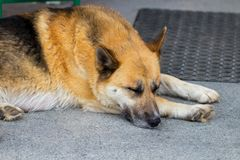 German Shepherd  dog  the lying on the front porch of a home.  Stock Images