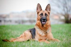 German shepherd dog lying on grass Stock Photo