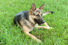German Shepherd dog. Stock Image