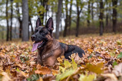 German Shepherd Dog is Lying on the Grass. Autumn Leaves Falling stock photos