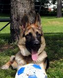 German Shepherd Dog. Lying on grass with big ball Stock Photos