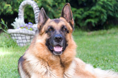 German Shepherd dog. Lying on the grass at the garden Royalty Free Stock Photography