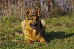 German shepherd dog lying on the green grass Royalty Free Stock Photo