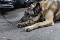 German Shepherd Dog lying on the ground. German Shepherd Dog on the ground, with open eyes Royalty Free Stock Photo