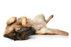 German Shepherd dog lying on his back and rests Stock Image