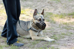 German Shepherd Dog Lying On The Ground, Wearing A Muzzle, Looking At Its Owner