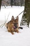 German Shepherd Dog Lying on Snow Royalty Free Stock Photos
