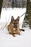 German Shepherd Dog Lying on Snow Stock Photo