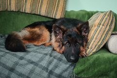German shepherd dog lying on sofa on pillows royalty free stock image