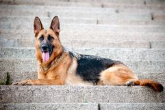 German shepherd dog lying on the steps Royalty Free Stock Photos