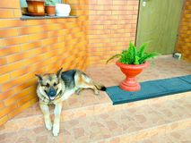 German shepherd dog lying on the steps stock photos