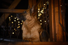 German Shepherd Dog is Lying on The Wooden Balcony Royalty Free Stock Photo