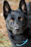 German Shepherd Dog Malinois. Black German Shepherd Dog Malinois outdoor animal shelter adoption portrait Stock Photo
