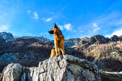 German Shepherd dog into the mountains Royalty Free Stock Images