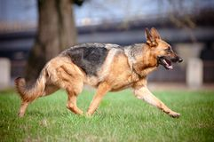 German shepherd dog movements Royalty Free Stock Photo