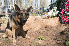 German shepherd dog near the grave. Of the owner Stock Photography