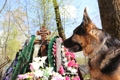 German shepherd dog near the grave. Of the owner Stock Photo