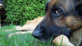 Beautiful German Shepherd Dog lying on the ground. German Shepherd Dog Odin taking care of our garden Stock Photo