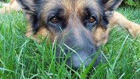 Beautiful German Shepherd Dog lying on the ground. German Shepherd Dog Odin taking care of our garden Royalty Free Stock Image