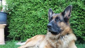 Beautiful German Shepherd Guardian of Garden. German Shepherd Dog Odin taking care of our garden Royalty Free Stock Photography