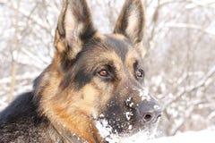 German Shepherd Dog On Snow Royalty Free Stock Images