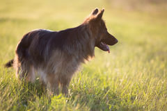German shepherd dog outdoor Royalty Free Stock Photos